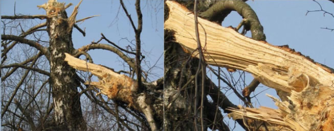 The birch tree that allegedly cut off the wing. Source: J. Gruszczyński, C. Cieszewski